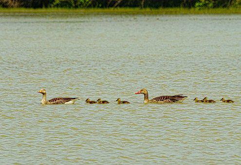 Lake, Bird, Waters, Greylag Goose, Goose Family