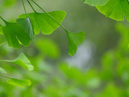 Leaf, Plant, Growth, Nature, Lush, Ginko, Tree