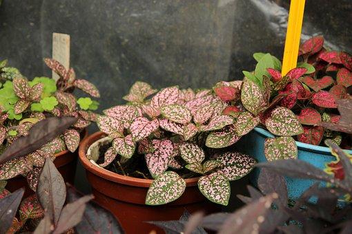 Gipoestes, Hypoestes, Plant, Sheet, Indoor Plant