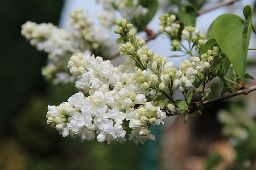 Lilac, White Lilac, Lilac White Double, Flowering