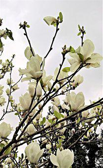 Magnolia, Magnolia Tree, Many White Flowers, Spring
