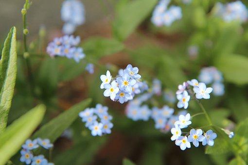 Myosotis, Forget-me-not Blue, Myosotis Arvensis