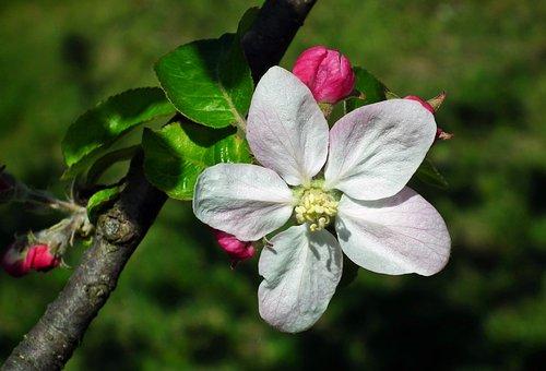 Flower, Apple, Sprig, Nature, Plant, Petal, Leaf