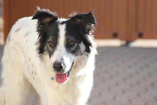 Dog, Canine, Portrait, Pet, Animal, Border Collie