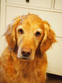 Dog, Pet, Animal, Golden Retriever