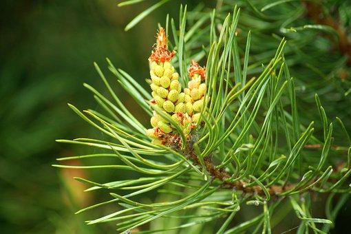 Pine, Flowering, Spring, Conifer, Green, Pine Needles
