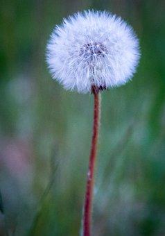 Nature, Flower, Plant, Dandelion, Summer, Grass, Green