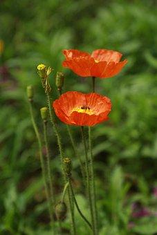 Papaverales, Flowers, Nature, Plants, Summer, Garden
