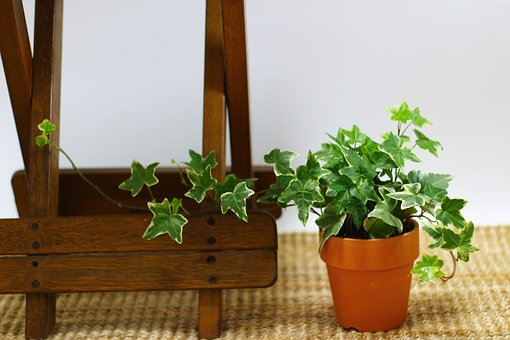 Ivy, Potted Plant, Plants, Leaf, Mini Potted, Interior