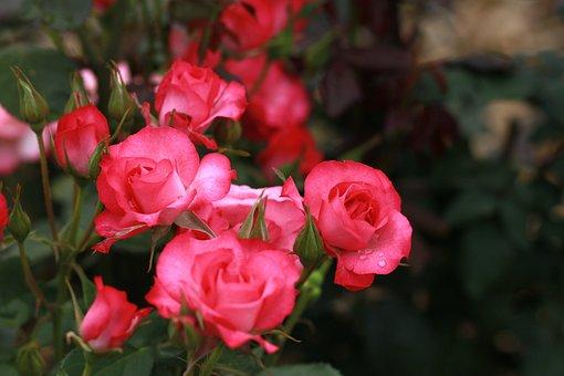 Flowers, Nature, Plants, Leaf, Garden, Rose, Red Rose
