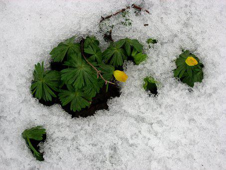 Meadow, Plant, Snow, Leaves, Blossom, Bloom, Branch