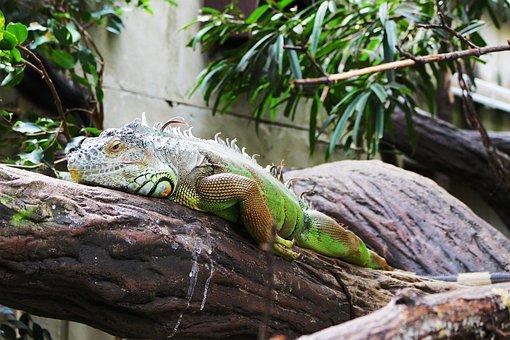 Reptile, Animal, Tropical, Animal World, Lizard, Iguana