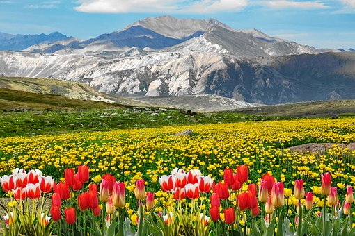Tulips, Field Of Rapeseeds, Mountains, Nature, Mountain