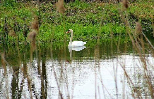 A Lone Swan, Nature, Landscape, Water Bird, Water