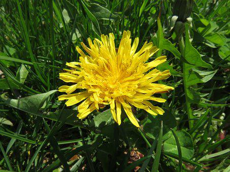 Weed, Dandelion, Yellow, Plant, Grass