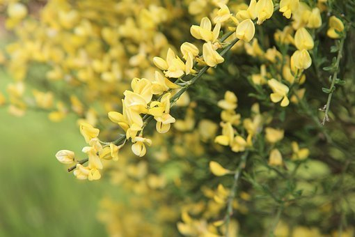 Broom, Broom Yellow, Shrub, Yellow Flowers, Vegetation