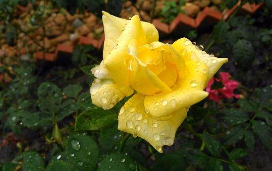 Flower, Plant, Nature, Garden, Rose, Yellow, After Rain