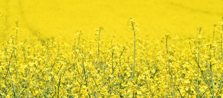 Oilseed Rape, Agriculture, Field, Yellow, Rape Blossom