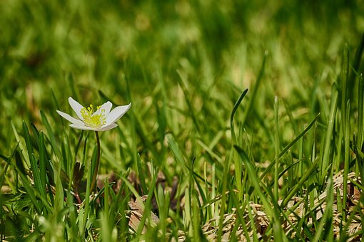 Anemones, Flower, Grass, Nature, Spring Growth