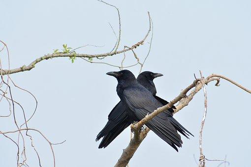 Animal, Wood, Bird, Wild Birds, Crow, Crow I'll