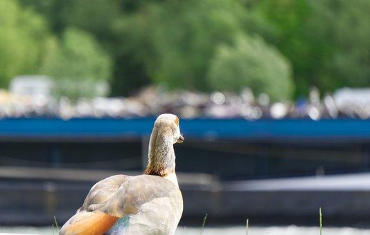 Nilgans, Duck, Animal, Nature, Waters, Summer