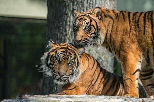 Cat, Animal World, Carnivores, Predator, Tiger, Hunter