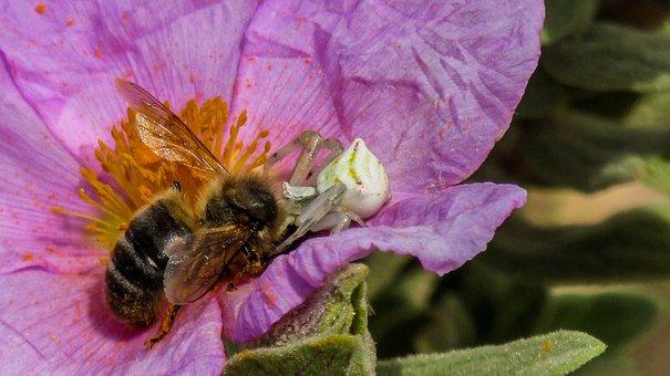 Bee, Spider, Animals, Nature, Anthophila, Flower