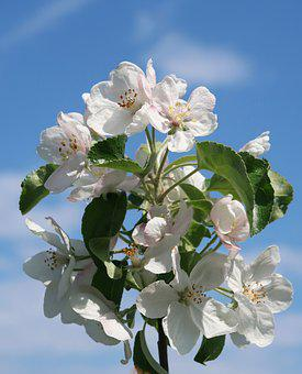 Apple, Tree, Garden, Flowers, Apple Blossom, Blossom