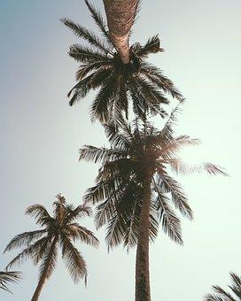 Palm, Tropical, Coconut, Beach, Tree, Paradise