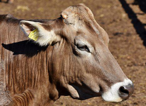 Cow, Beef, Agriculture, Cattle, Livestock, Ruminant