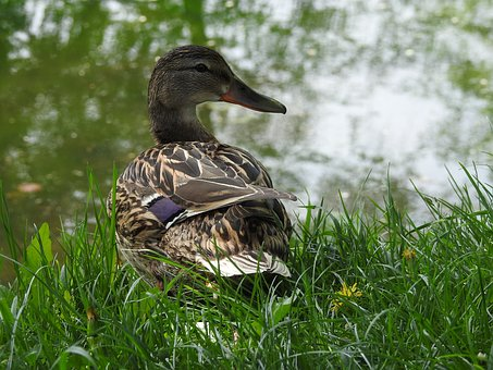 Nature, Birds, Pen, Duck, Lawn, Beak, Wild Birds, Park