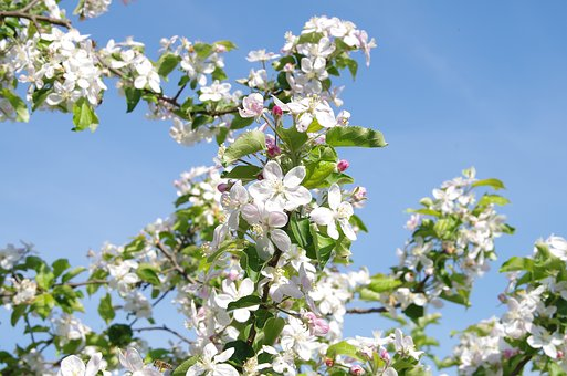 Tree, Flower, Plant, Branch, Nature, Apple