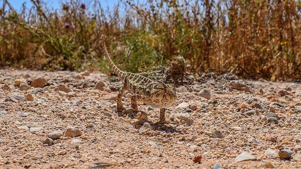 Chameleon, Nature, Animal, Reptile, Camouflage