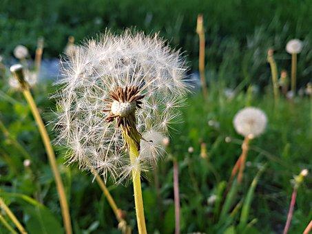 Dandelion, Nature, Lawn, Summer, Flower, Plant, Meadow