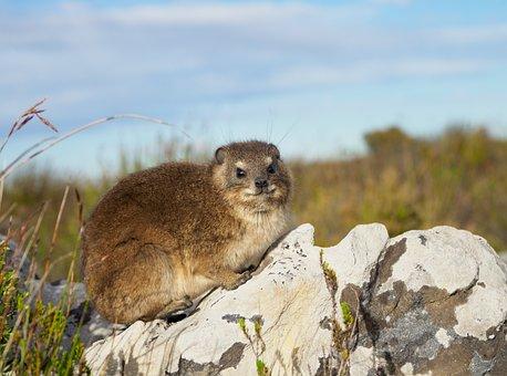 Rock Hyrax, Dassie, Table Mountain, Animal, Mammal