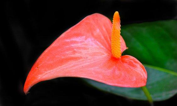 Anthurium, Pink, Flower, Nature, Leaf, Flora