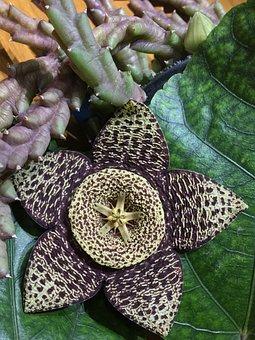 Flower Cactus, Grain, Garden, Cactus, Flowering Cactus
