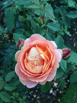 Flower, Rose, Garden, Petal, Plant, English Garden