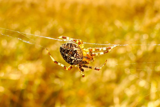 Insect, Nature, Spider, Invertebrates, At The Court Of