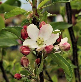 Flower, Nature, Leaf, Flora, Tree, Garden, Apple