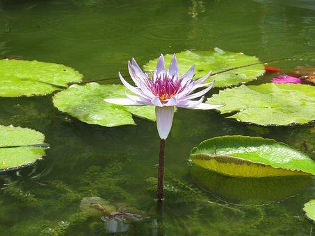 Pool, Lotus, Leaf, Aquatic, Flower