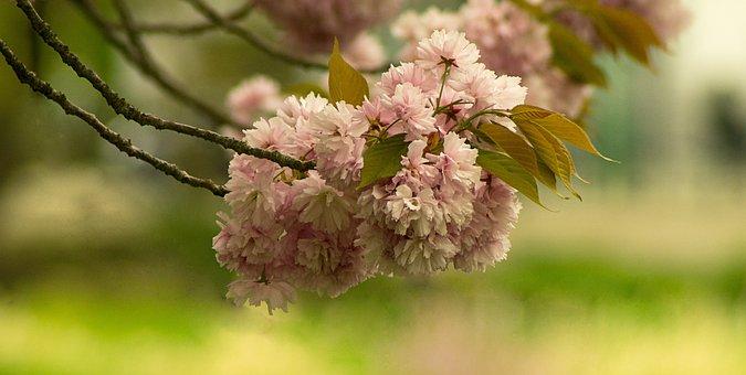 Flower, Cherry, Nature, Plant, Tree, Leaf, Spring