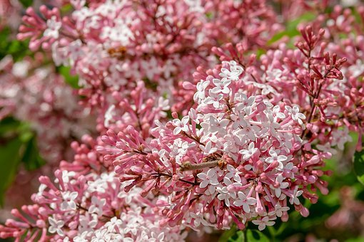 Lilac, Small-leaf Lilac, Flowers, Bloom, Pink White