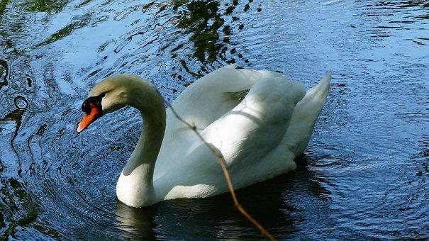 Body Of Water, Swan, Nature, Bird, Lake, Pen, Majestic