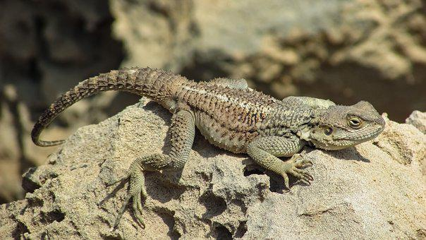 Reptile, Nature, Lizard, Wildlife, Animal