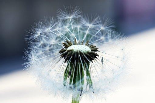 Dandelion, Nature, Plant, Lively, Mag, Fluffy, Frailty