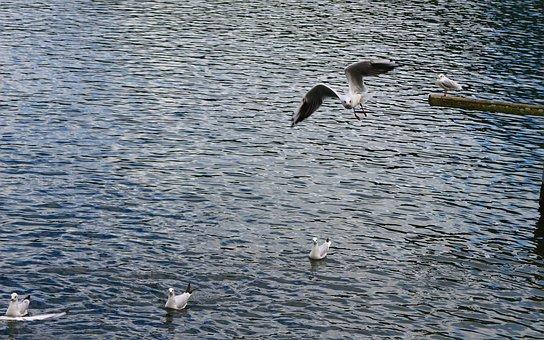 Waters, Bird, Sea, Nature, Ocean, Seagull, Gulls