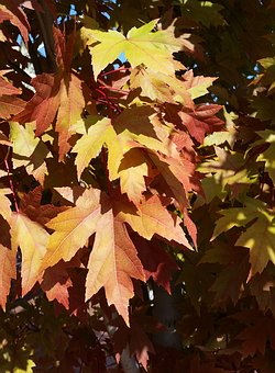 Autumn, Fall, Leaf, Maple, Season, Nature