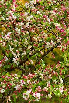 Apple Tree, Spring, Apple Blossom, Tender, Tree, Nature