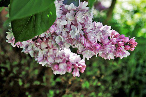 Without, Lilac, Flower, Plant, Spring, May, Nature